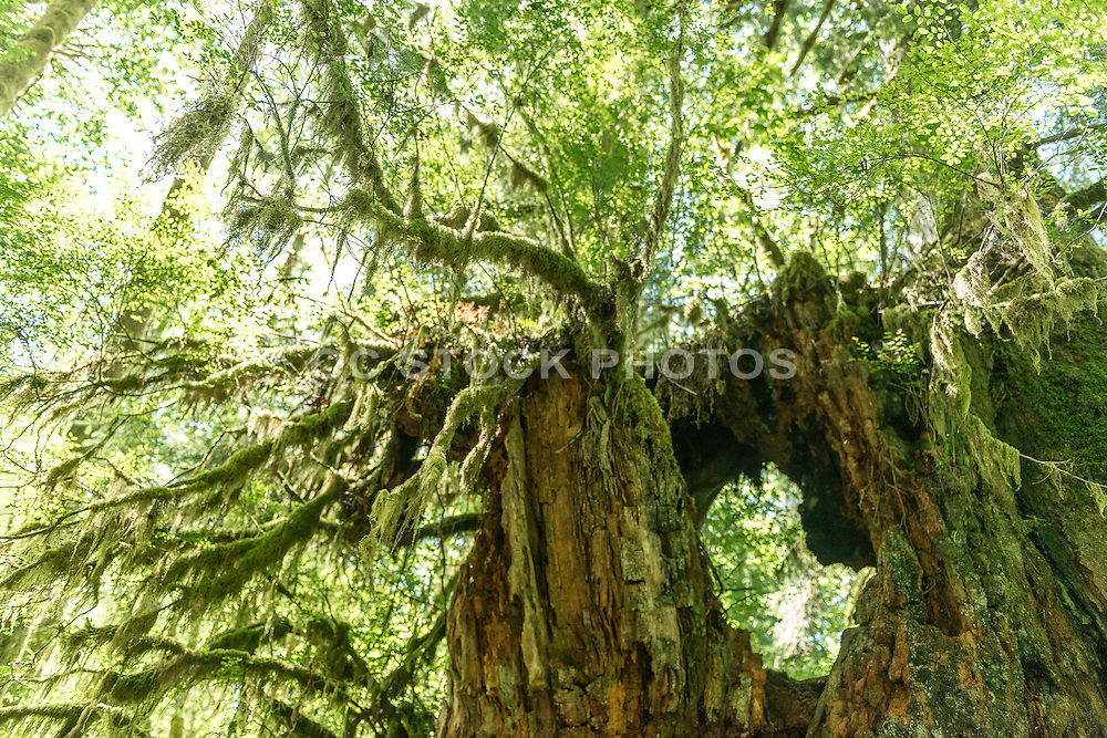 Moss Covered Tree Stump in the Quinault Rainforest