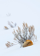 A red fox (Vulpes vulpes) sleeps against a sage bush in the snow covered Lamar Valley of Yellowstone National Park, Wyoming