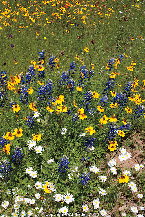 Indian Blanket, Bitterweed and Lazy Daisy, Llano County, Texas