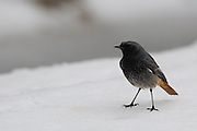 Common Redstart (Phoenicurus phoenicurus) on the ground in the snow. This bird is considered to be an Old World flycatcher and is found throughout Europe in summer. It migrates to north Africa in winter and feeds predominantly on winged insects. Photographed in Israel, in January