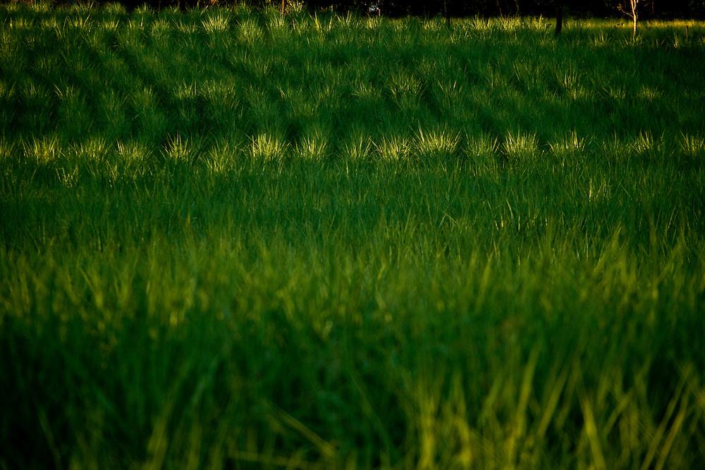 Patos de Minas_MG, 02 de Fevereiro de 2010..Historias - Cachaca Leblon..Na foto, a plantacao de cana...Foto: LEO DRUMOND / NITRO
