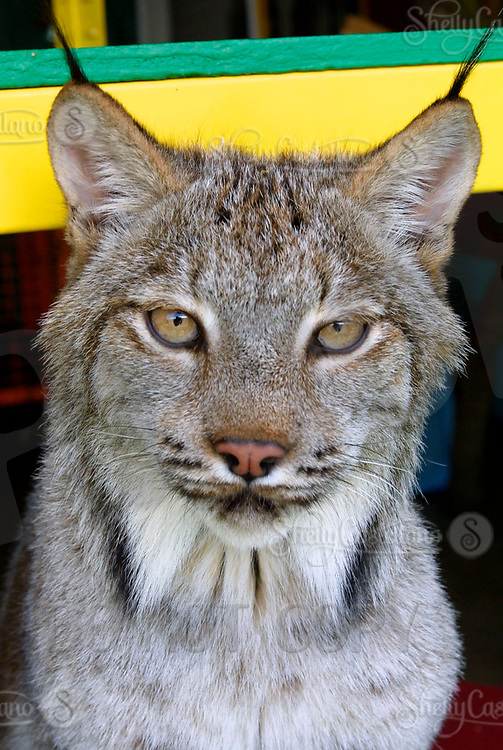 Apr 03, 2002; Lake Elsinore, CA, USA; WILLOW a Siberian Lynx at home inside @ Tiger Creek, a non-profit organization dedicated to the conservation of endangered wildcats. <br />Mandatory Credit: Photo by Shelly Castellano/ZUMA Press.<br />(&copy;) Copyright 2002 by Shelly Castellano