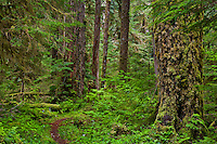 South Fork Skokomish River verdant coniferous forest with a trail winding through the trees. Olympic National Forest on the south end of the Olympic Mountains, Washington, USA