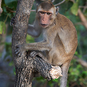 The Crab-eating Macaque (Macaca fascicularis) is a primarily arboreal macaque native to Southeast Asia. It is also called the Cynomolgus Monkey, Philippine Monkey and the Long-tailed Macaque.From  Khao Sam Roi Yot National park, Thailand.