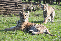 © London News Pictures. 04/02/2013.Endangered Siberian Tiger cubs Kazamir L and Arina 5 month old brother and sister debut at Howletts Zoo, Kent. Howletts Wild Animal Park in near Canterbury, Kent, officially announces endangered Siberian cubs debut. Siberian or Amur tigers are endangered in the wild and it is estimated that only 400 remain. Picture credit should read Manu Palomeque/LNP