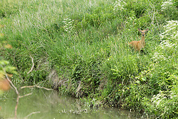 A white-tailed deer (Odocoileus virginianus) on a steep bank near a small stream