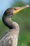 This is a photograph of a Double-crested Cormorant taken at Wakodahatchee Wetlands, in Delray Beach, Florida.