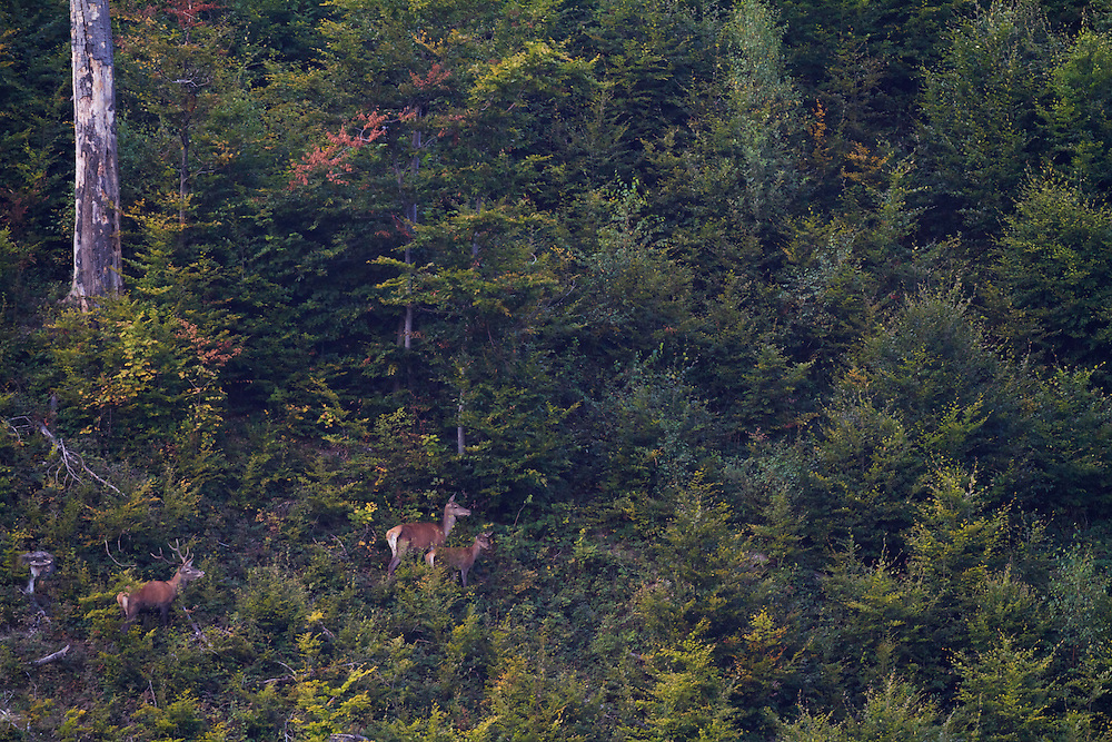 Red deer (Cervus elaphus) stag, hinde and calf in successional vegetation of a former clear-cut at the slopes of Mount Durkovec (1189 m) inside Poloniny National Park.  Runina area, Slovakia.