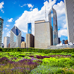 Picture of Lurie Garden flowers with Chicago Skyline. Lurie Garden is located in Millennium Park and is a popular attraction. Buildings include Aon Center buidling, One Prudential Plaza buidling, Two Prudential Plaza building, Trump Tower, Crain Communications Building (Formerly Smurfit Stone Building), and The Heritage at Millennium Park building. Large photo is high quality.