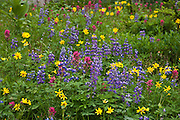 wildflowers blooming in a blanket in a meadow on the slopes of Naches Peak south of Chinook Pass in the William O Douglas Wilderness Wenatchee National Forest, Cascade Range of Washington state, USA