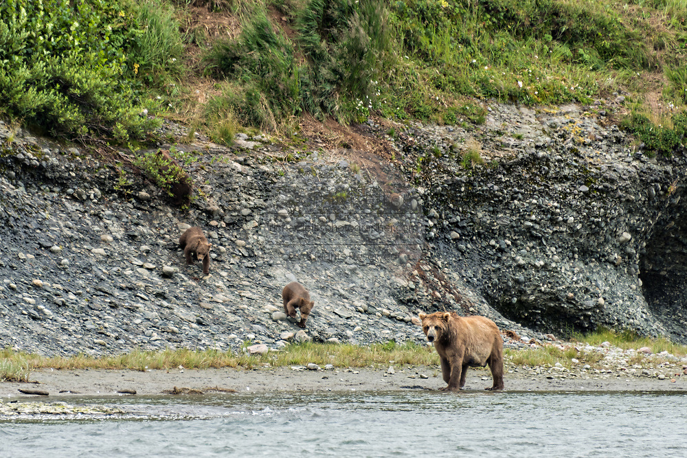 A brown bear cow known as Simba, stands guard as her cubs come down off a hillside in the lower lagoon at the McNeil River State Game Sanctuary on the Kenai Peninsula, Alaska. The remote site is accessed only with a special permit and is the world's largest seasonal population of brown bears in their natural environment.