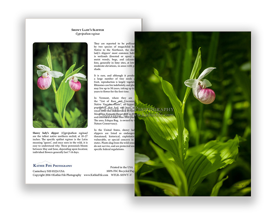 Showy Lady's Slipper Greeting Card 5x7 100% Recycled Paper