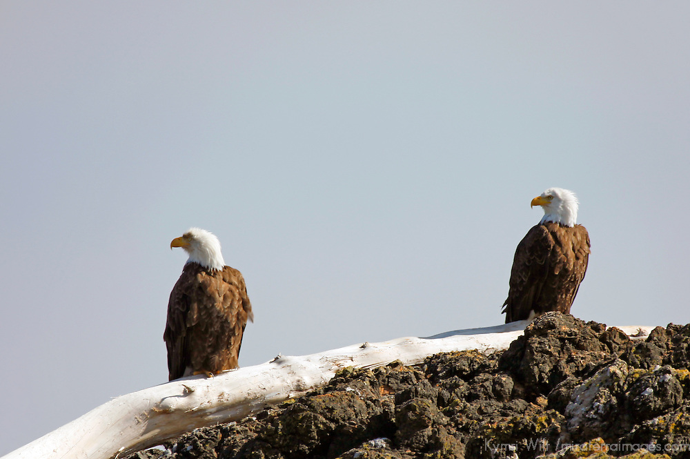 North America, Canada, British Columbia, Vancouver Island. Bald Eagle pair, Pacific Rim National Park.