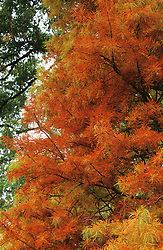 Taxodium distichum in autumn colour at RHS Rosemoor - Swamp cypress