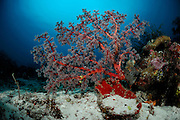 Sea Fan (Acanthogorgia sp.) Raja Ampat, West Papua, Indonesia, Pacific Ocean | Raja Ampat, West Papua, Indonesien, Pazifischer Ozean