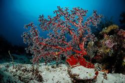 Sea Fan (Acanthogorgia sp.) Raja Ampat, West Papua, Indonesia, Pacific Ocean | Raja Ampat, West Papua, Indonesien, Pazifischer Ozean