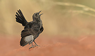 Northern Anteater-chat - Myrmecocichla aethiops