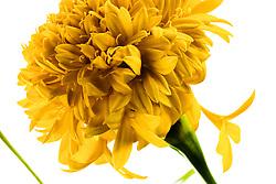 Marigold, tagetes erecta#7