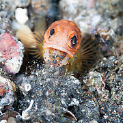 Jawfish (Opistognathus sp.) engaged in maintaining its burrow, spitting out sand and rubble