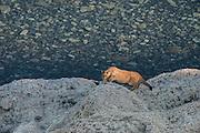 Puma (Felis concolor patagonica) cub<br /> Lago Sarmiento<br /> Torres del Paine National Park<br /> Patagonia<br /> Magellanic region of Southern Chile
