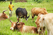 A boy watches cattle in the village of Mwazonge, roughly 30km southwest of Mwanza, Tanzania on Sunday December 13, 2009...