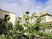 Alaska, Anchorage, Downtown Anchorage, Hilton Hotel, Artichoke Plant