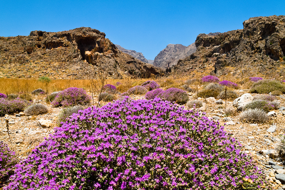 Thyme is found wide-spread throught the island of Crete. Thyme was regarded a messenger of the fairy world, bestowing courage and lightheartedness, counteracting melancholy and shyness. Ancient rituals involved warriors bathing with thyme before battles to evoke strength and courage.