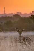 UNITED KINGDOM, London: 13 May 2015 A Red Deer stands in front of an orange sky in Richmond Park, London this morning. Although it was a cold start to the day, temperatures are set to get up to 20C. Rick Findler  / Story Picture Agency
