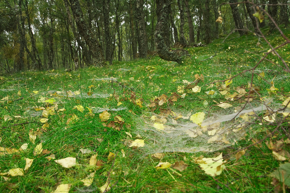 Mist water droplets on spiders webs on the forest floor in a silver birch wood, Boat of Garten, Cairngorms National Park, Scottish Highlands, Uk