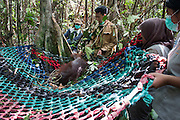Conservationists return three rescued orangutans to freedom in the rainforest but warn of increasing threats to the species&rsquo; survival<br /> <br /> Three orangutans have been rescued and released into a national park in West Kalimantan after being driven out of the forest by massive land clearance operations to make way for agricultural plantations. News of the orangutans&rsquo; translocation has been released with a strong message about increasing threats to the survival of the Critically Endangered species.<br /> <br /> A team from International Animal Rescue (IAR) Indonesia joined with Gunung Palung National Park (GPNP) and members of the BKSDA (Conservation of Natural Resources) in West Kalimantan to release the three orangutans (Pongo pygmaeus.)<br /> <br /> The orangutans were named Brown, Kokom, and Zola. Zola was rescued by IAR&rsquo;s team and the local Forest Department on 30 January this year.  Brown was rescued on 27 December 2016 from a village not far from IAR&rsquo;s rescue centre in Sungai Awan, Ketapang and female Kokom was rescued on 30 November from a rubber plantation owned by residents in Sumber Priangan Village, Nanga Tayap District. She was found with a rope around her neck, suggesting she had been kept in captivity, perhaps as a pet, and then set free.<br /> <br /> Zola was rescued from a pineapple plantation owned by residents in the village of Merbau, in Ketapang. The adult male weighing about 60 kg was captured by IAR&rsquo;s team after damaging hundreds of the villagers&rsquo; pineapple plants. The pineapple orchard is adjacent to an area of land currently being cleared. Zola had apparently been driven out of his habitat by the land clearing activities and entered the pineapple plantation in search of food.<br /> <br /> The three rescues indicate that the orangutans&rsquo; habitat is being increasingly squeezed by massive forest clearance for industrial-scale agricultural plantations. <br /> <br /> Karmele Llano Sanchez, Programme Director of IAR Indonesia, said: &ldquo;Orangutans are declining very fast and their forest is disappearin