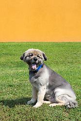 Shepherd Lab mix dog on a lawn