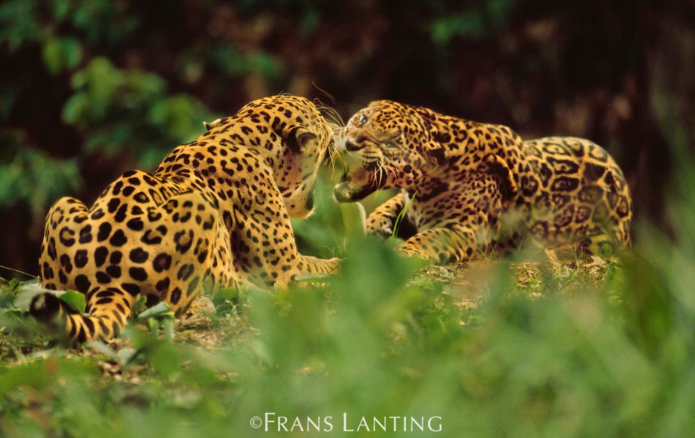 Jaguars fighting, Panthera onca, Brazil