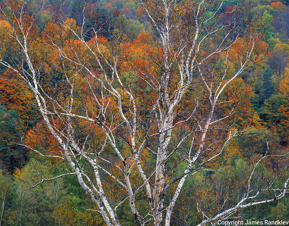 birch tree and autumn colors of mixed hardwoods, White Mts., NH