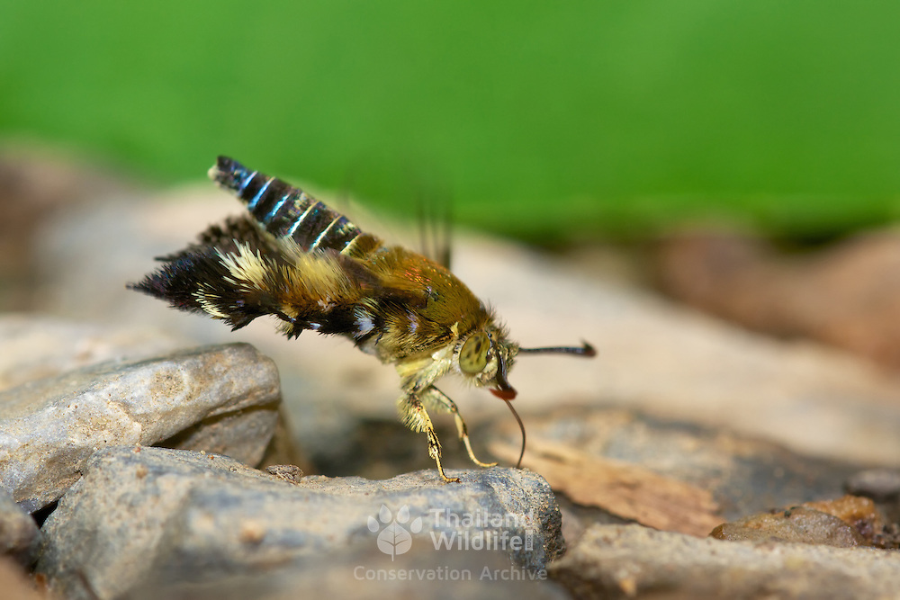 The Sesiidae or clearwing moth. The general appearance is sufficiently similar to a wasp or hornet to make it likely that the moths gain a reduction in predation by Batesian mimicry. This enables them to be active in daylight