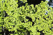 Back lit, green vine maple leaves grow along Elliott Creek, Mt. Baker-Snoqualmie National Forest, Goat Lake Trail number 647, Washington, USA.