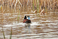 A male Ruddy Duck making its drumming sound also with its head tufts raised trying to attract a female.