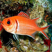 Blackbar Soldierfish inhabit reefs, commonly hide in dark recesses in large schools, in Tropical West Atlantic; picture taken Grand Turk.