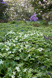Erythroniums in the Delos garden at Sissinghurst Castle in spring