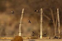 ENGLISH SPARROWS SITTING ON A BARBED WIRE FENCE