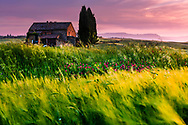 Small tuscany farmhouse among the green fields of wheat at sunset