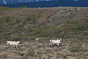 Wildlife in east Iceland. Reindeer and Grey goose.