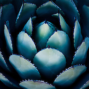 Blue and green silvery agave leaves in desert sunset light, California<br />
