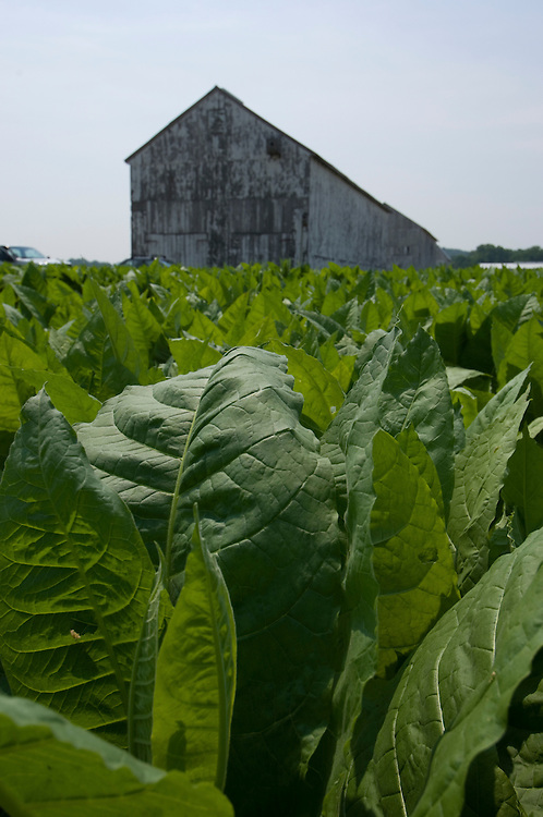 Tobacco plants and old barn