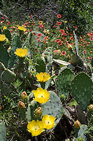 Prickly Pear, Gillespie County