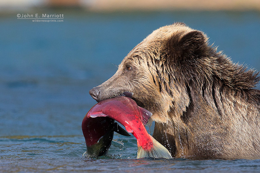 Grizzly bear with a fresh sockeye salmon, Chilcotin, BC, Canada
