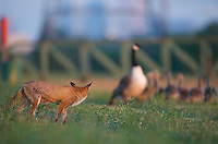 Urban fox (Vulpes vulpes) with Canada Goose (Branta canadensis) in London, United Kingdom