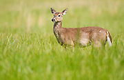 White-tailed deer doe <br /> -Cades Cove, Great Smokey Mountains, TN U.S.A