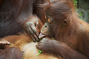 Bornean Orangutan <br /> Pongo pygmaeus<br /> Three-year-old baby grooming itself<br /> Tanjung Puting National Park, Indonesia