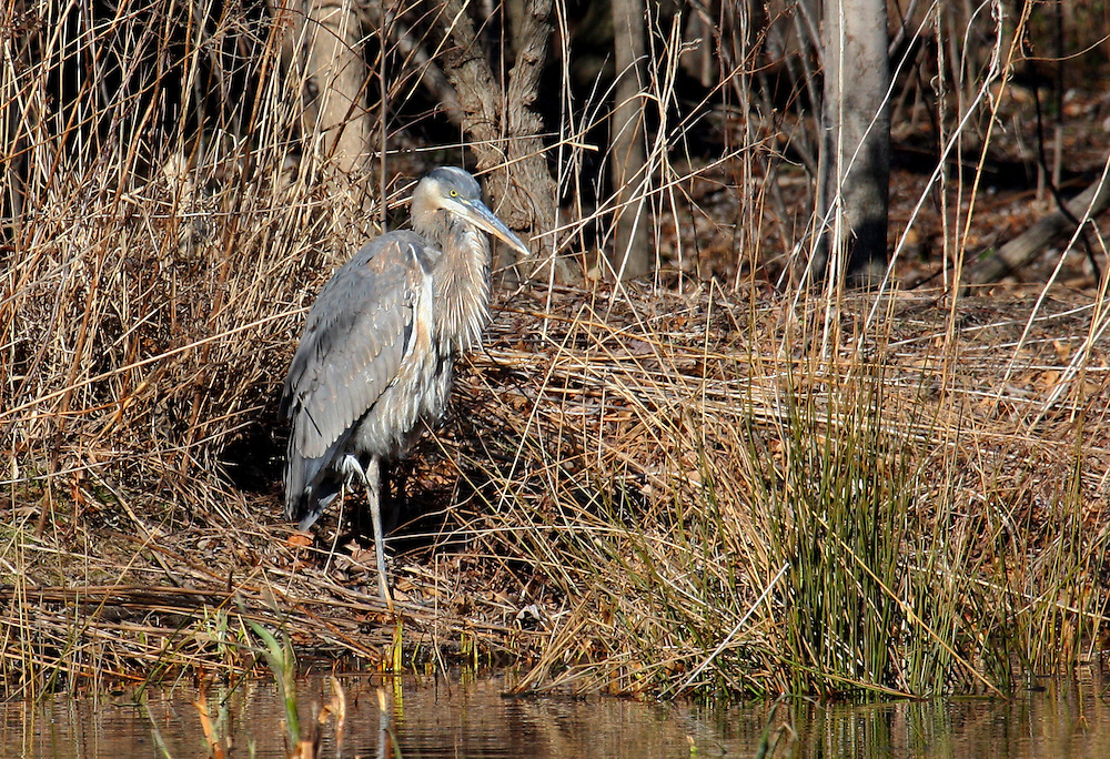 A great blue heron on a small island in the park's Upper Pool.