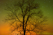 Northern lights (Aurora borealis) and cottonwood tree<br /> Birds Hill Provincial Park<br /> Manitoba<br /> Canada